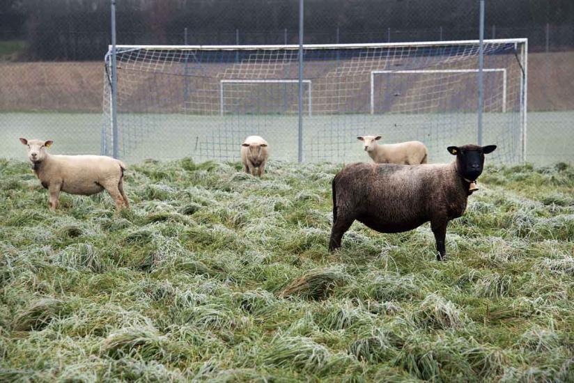 C'est l'hiver, moutons au bord d'un terrain de foot.