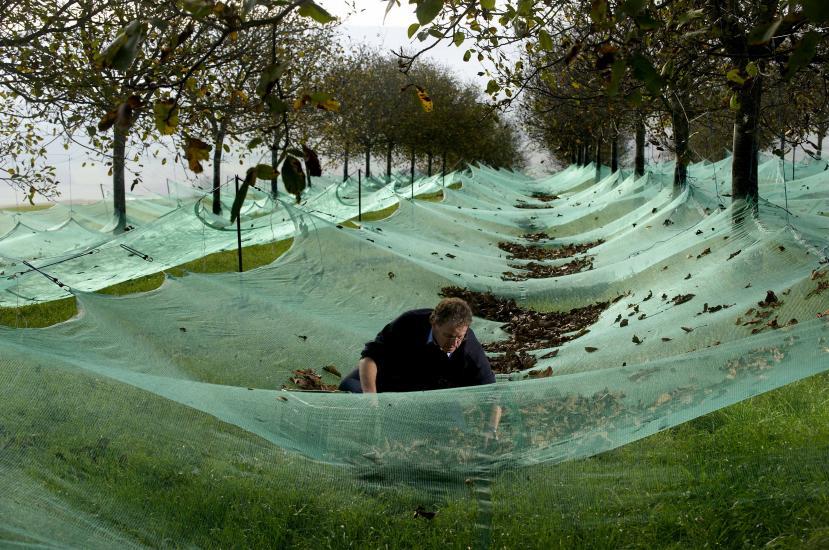 Ramasse des noix , dans une plantation de noyer.